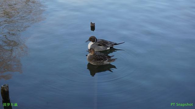 游水的鸭子