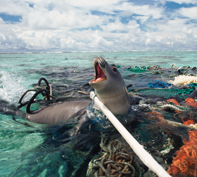 A Hawaiian monk seal is caught in fishing tackle in the Pacific Ocean. Photo: Michael Pitts / naturepl.com / World Animal Protection