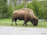 Bison, Yellowstone National Park  [2005]