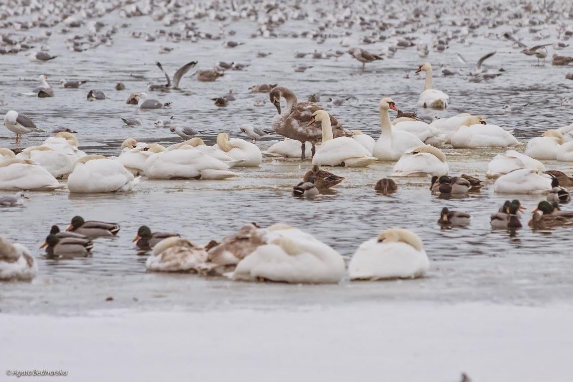 stada ptaków wodnych, kalendarz przyrodniczy na rok 2015