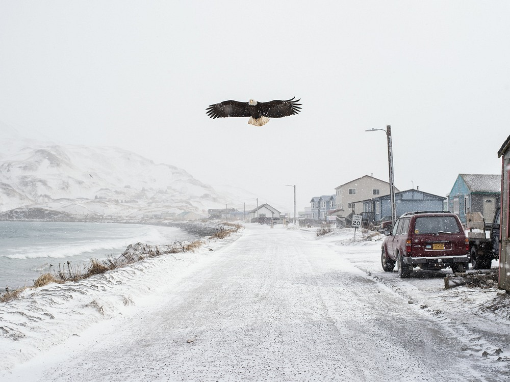 bald-eagles-unalaska-1