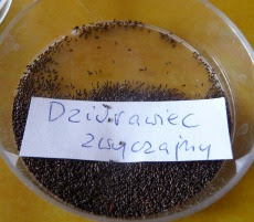 Dziurawiec zwyczajny nasiona, Hypericum perforatum semen, seeds