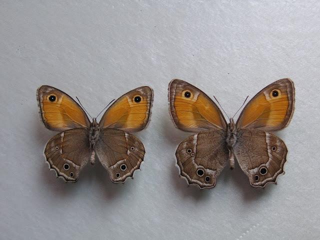 À gauche : Hyponephele davendra seravschanica LUKHTANOV, V. A., 1997 (verso). 35 km au nord de Dushanbe (Tadjikistan), 1505 m, 5.VII.2009. À droite : Hyponephele latistigma MOORE, 1893. Būyer Ahmad Kūh-e Dinār env. Sisaht, 3000 m (Iran). 5.VII.2001. Photo : J.-F. Charmeux