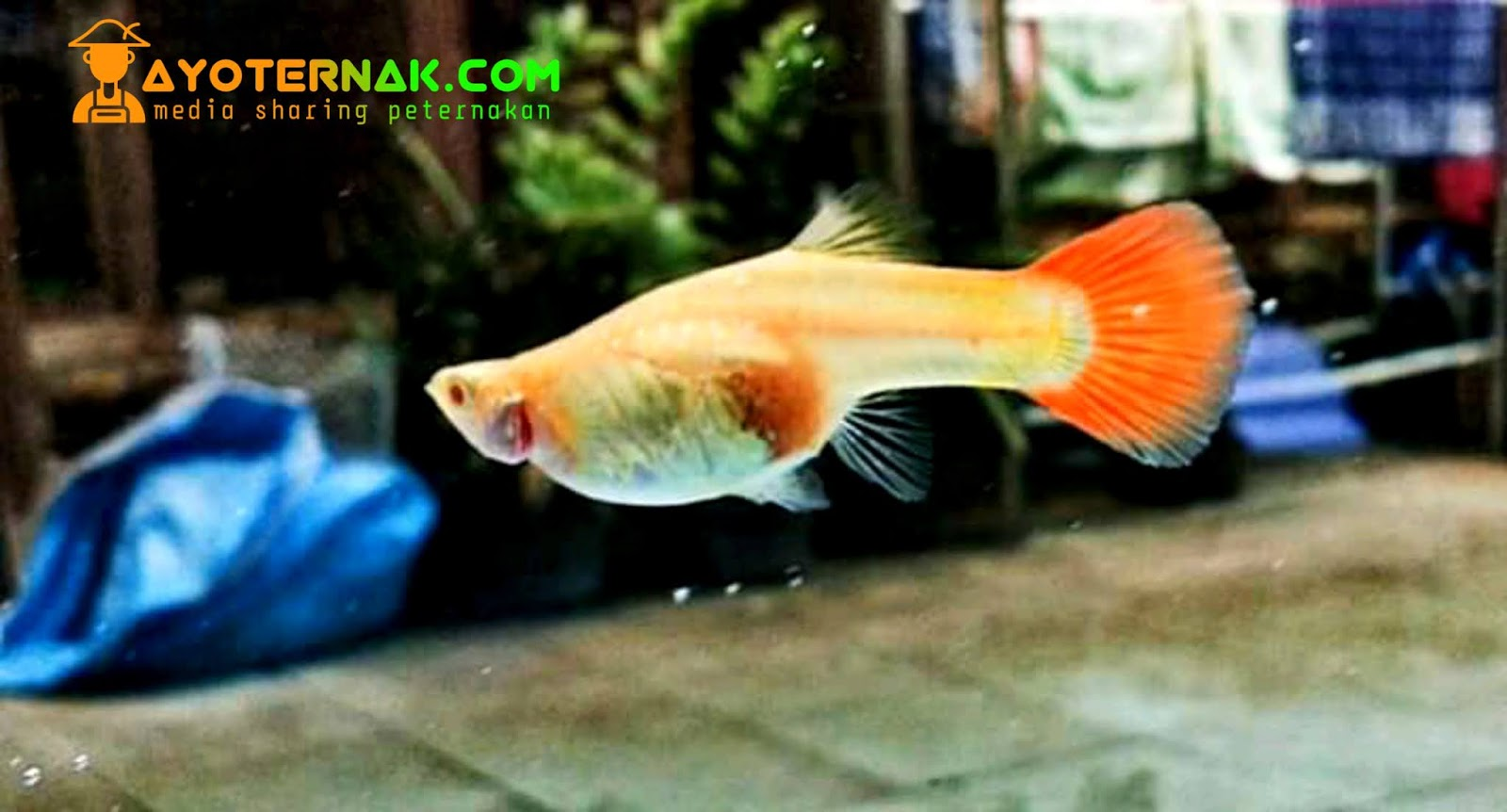 6 Penyebab Ikan Guppy Diam Didasar Aquarium Atau Kolam Ayo Ternak