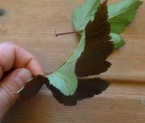 Pęcherznica kalinolistna Diabolo Physocarpus opulifolius