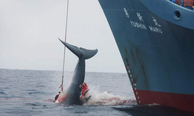 The Yushin Maru hauls in a harpooned whale. Japan says its official position on commercial whaling and the International Whaling Commission (IWC) has not changed, a but a report by the Kyodo news agency on 20 December 2018 claimed Japan would withdraw from the IWC in 2019. Photo: Jeremy Sutton-Hibbert / EPA