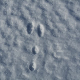 Identifying and interpreting mammal tracks is a fascinating pastime (Eastern Cottontail)