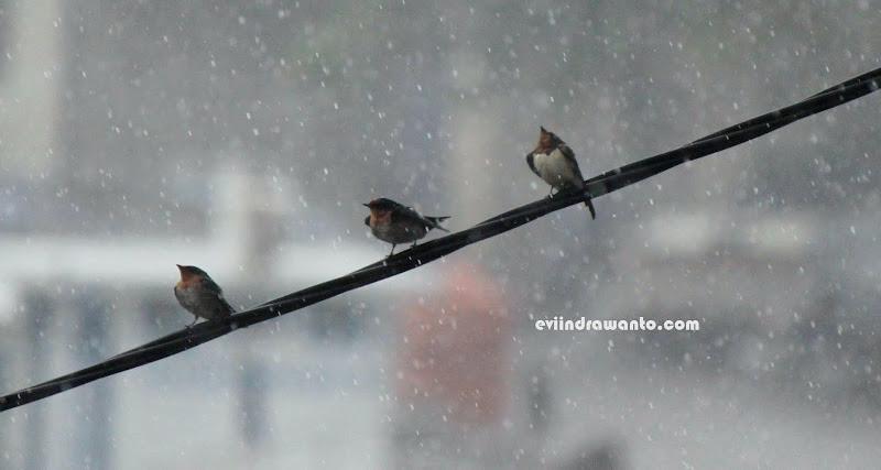 Burung Pipit di Bawah Hujan