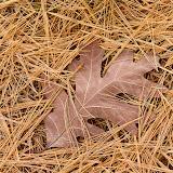 White-Oak-leaf_MG_2139-copy.jpg