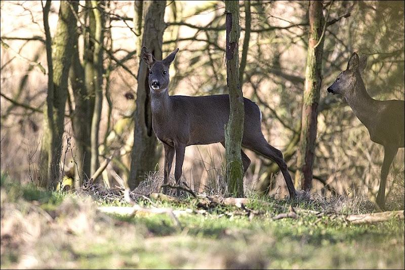 2 Roe Deer