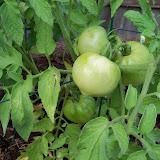 Gardening 2011 - 100_8838.JPG