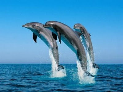 Oman - Dolphins in the Arabian Sea
