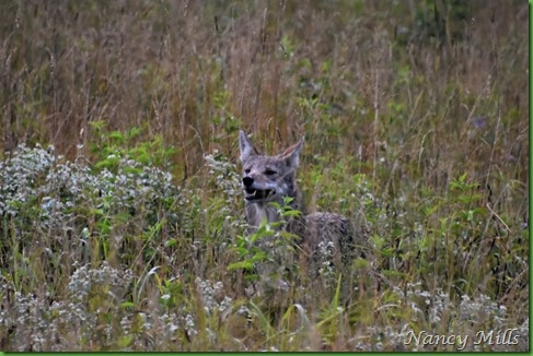 2018-07-11 16 - Cades Cove Walk -  Coyote tracking in Field on right