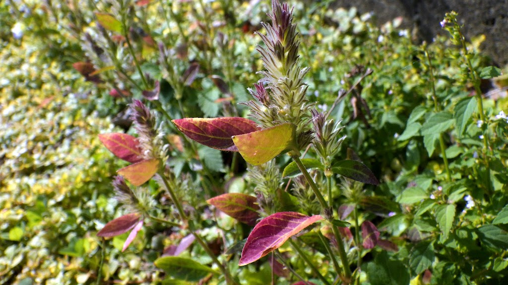 秋のキツネマゴ、紅葉した葉