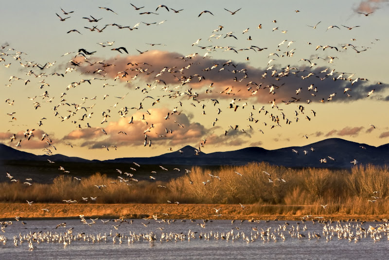Snow geese fill the sky at Bosque del Apache National Wildlife Refuge, NM,, site of the annual Festival of the Cranes in November. Credit: Gail Diane Yonavich