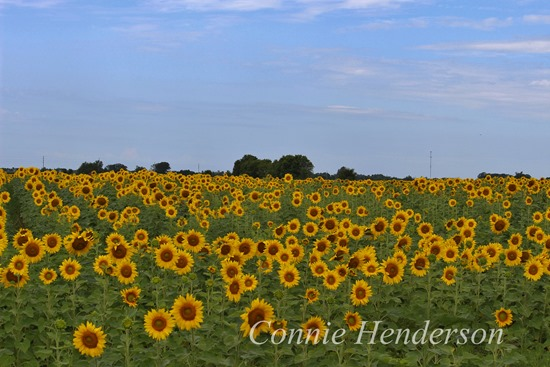 Sunflower field near Wadena Minnesota July 22 2015