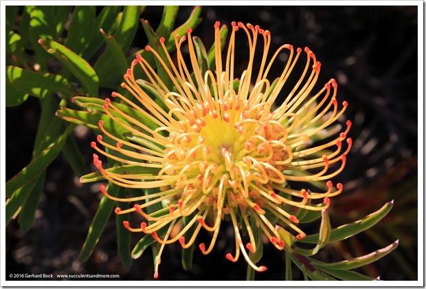 160813_UCSC_Arboretum_-Leucospermum-glabrum-x-conocarpodendron_002