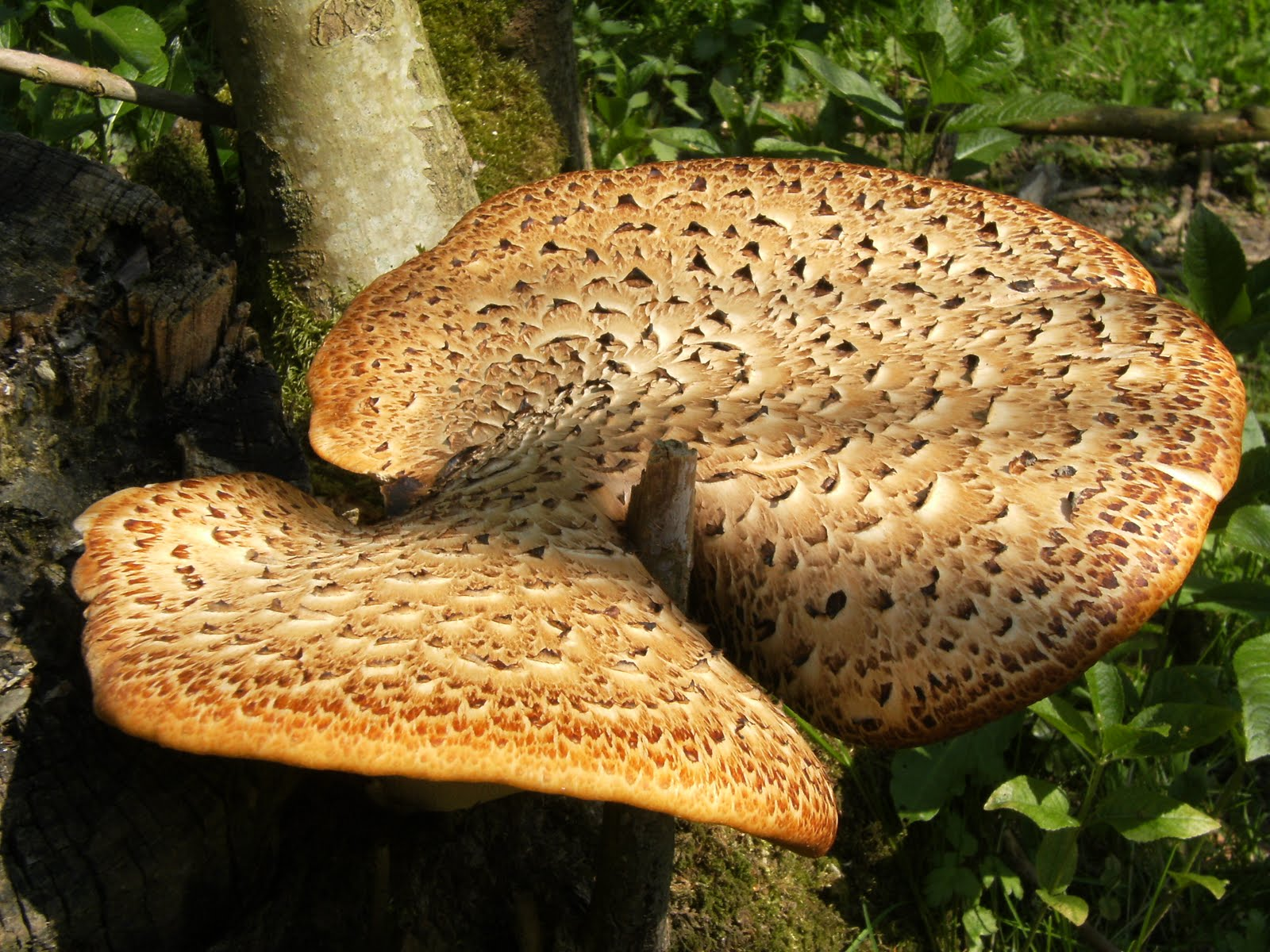 DSCF7372 Dryad's saddle near Tilder Gill