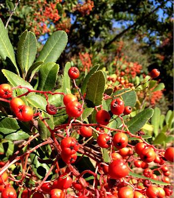 Christmasberry (Toyon or Heteromeles arbutifolia)