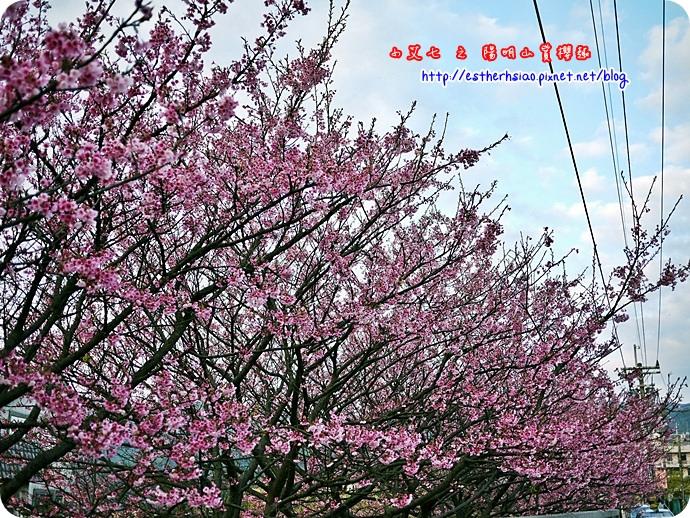 85 平菁街42巷櫻花樹