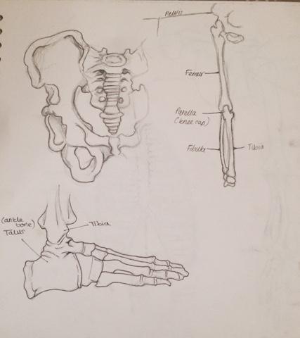 Mathias Holmes Portfolio Human Anatomy Studies Bones
