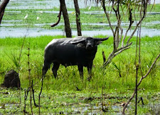 A buffalo in his element!