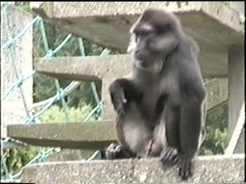 1995.06.16-014 macaque de Tonkean
