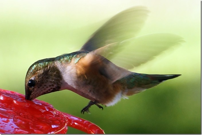 hummingbird for print