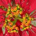 Bloemen van de kerstster die in Nepal zo groot wordt als een boom