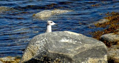 Photo: Птенец морской чайки. Большой Седловатый.