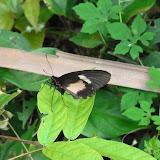Parides eurimedes arriphus (Boisduval, 1836), femelle. Fundo Palmarito, 265 m (Yopal, Casanare, Colombie), 21 novembre 2015. Photo : J. Michel