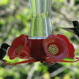 Ruby-throated Hummingbird - Peter Armstrong