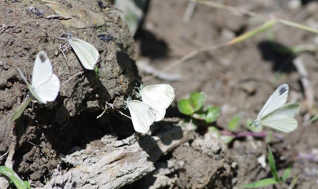Leptidea duponcheli (Staudinger, 1871). Les Hautes-Courennes (430 m), Saint-Martin-de-Castillon (Vaucluse), 17 juin 2015. Photo : J.-M. Gayman