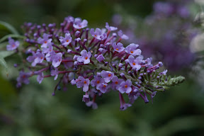 Buddleia Davidii (Butterfly Bush)