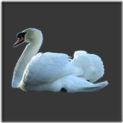 cisnes-buscoimagenes-13_thumb