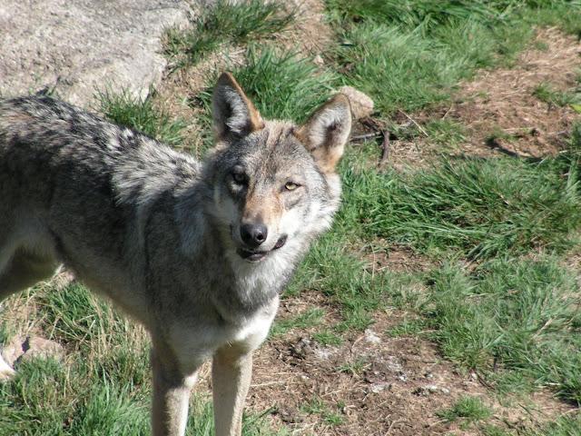 Les Loups de Chabrière PICT0459