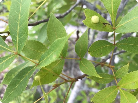 Hawks Bluff Trail - Carya floridana scrub hickory plant, gall, midge