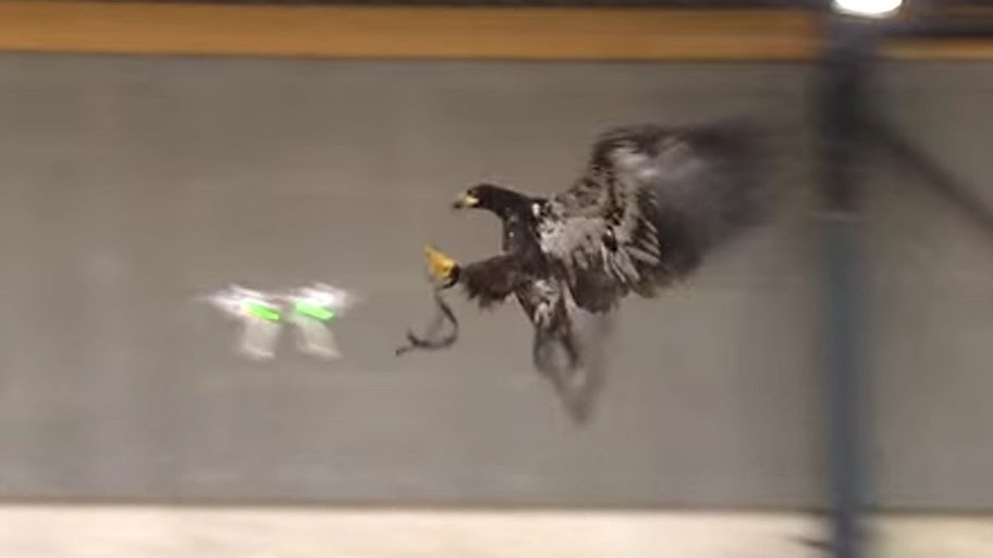 Video: Dutch use eagle to take out drones