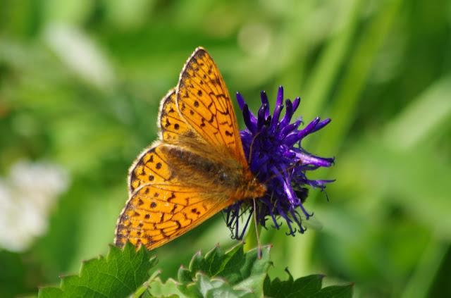 Boloria pales palustris FRUHSTORFER, 1909, femelle. Fex Curtins, 2000 m (Engadine, Grisons, CH), 12 juillet 2013. Photo : J.-M. Gayman