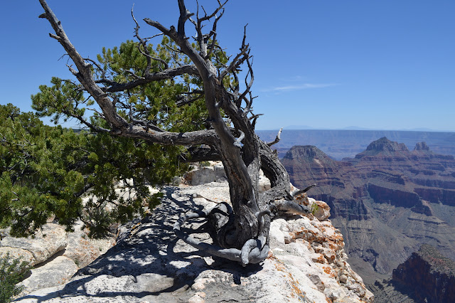 north rim edge tree