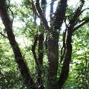 Træ med efeu.JPG