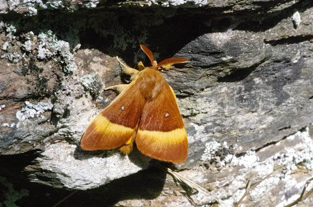 Lasiocampa quercus (L., 1758), f. guillemotii TRIMOULET, 1858, mâle. Vallée du Briançon (700 m), Cocurès (Lozère, France), 6 août 2014. Photo : J.-M. Gayman