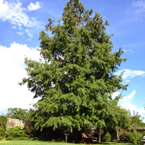 texas bald cypress tree