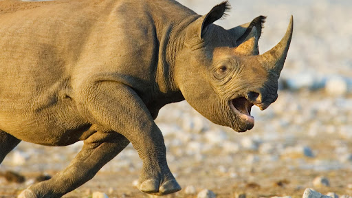 Black Rhinoceros Charging, Etosha National Park, Namibia.jpg