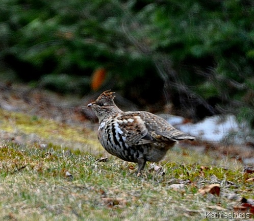 2. ruffed grouse-kab