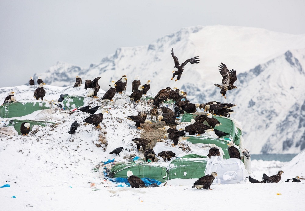 bald-eagles-unalaska-4