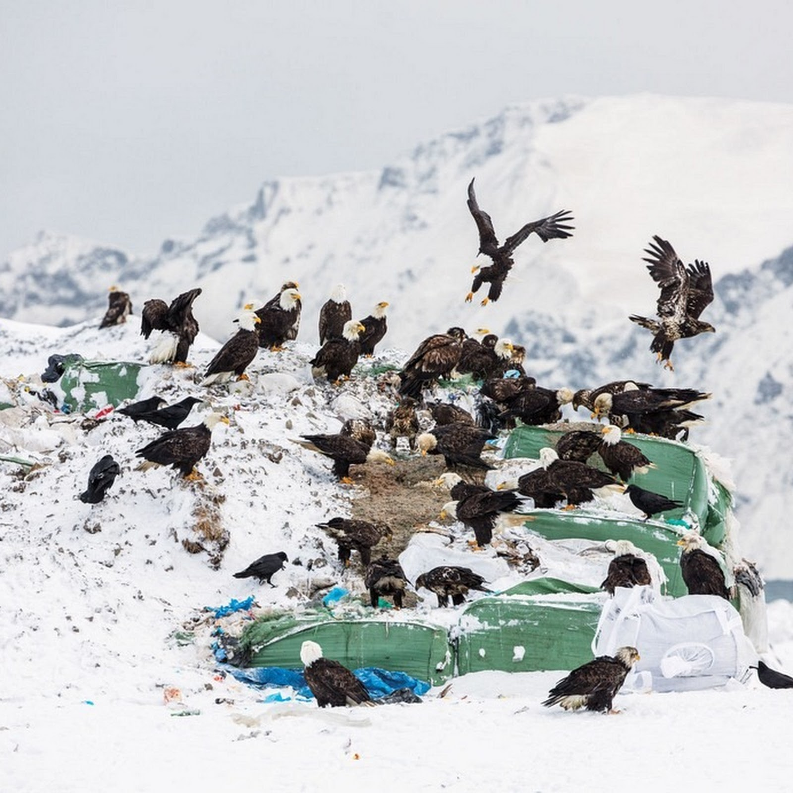 Unalaska: The Town Full of Bald Eagles