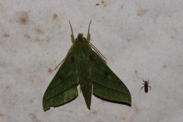 Macroglossinae : Xylophanes mirabilis CLARK, 1916. Los Cedros, 1400 m, Montagnes de Toisan, Cordillère de La Plata (Imbabura, Équateur), 18 novembre 2013. Photo : J.-M. Gayman