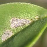 Figure 7 : larval feeding grooves on leaflet of host plant. Photo : D. Edge