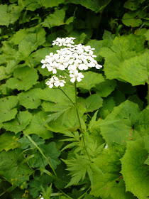 Achillee a grandes feuilles Achillea macrophylla Asteracees.JPG
